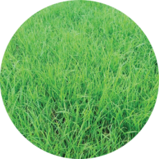 Rye Grass Anual